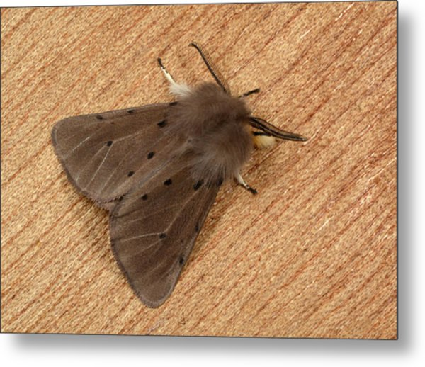 Muslin Moth Metal Print by Nigel Downer