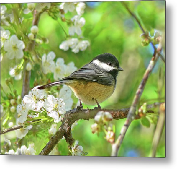 My Little Chickadee In The Cherry Tree Metal Print