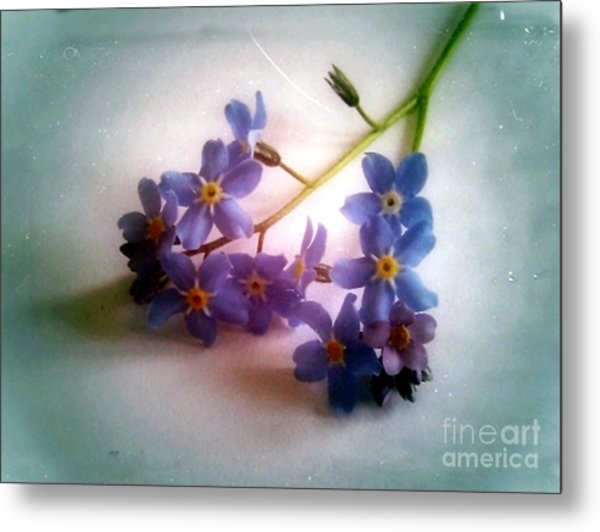 Myosotis  Forget Me Not Metal Print