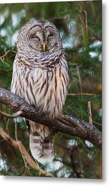 Napping Barred Owl Metal Print