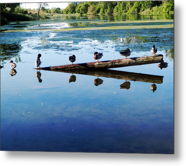 Napping Ducks Metal Print