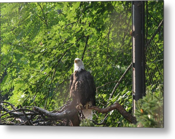 National Zoo - Bald Eagle - 12122 Metal Print by DC Photographer