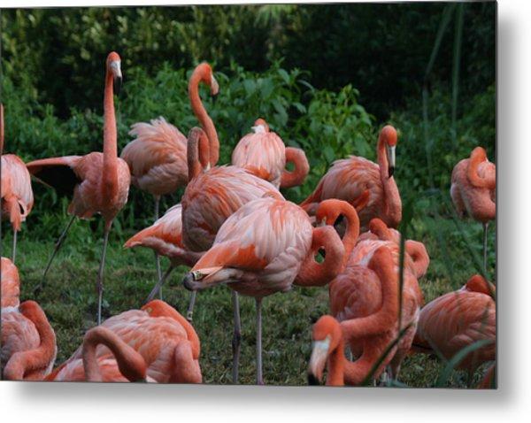 National Zoo - Flamingo - 12123 Metal Print