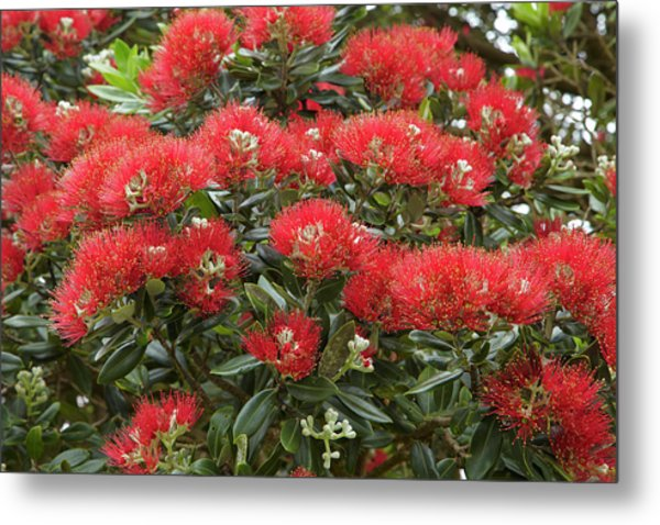 Native Pohutukawa Flowers (metrosideros Metal Print by David Wall