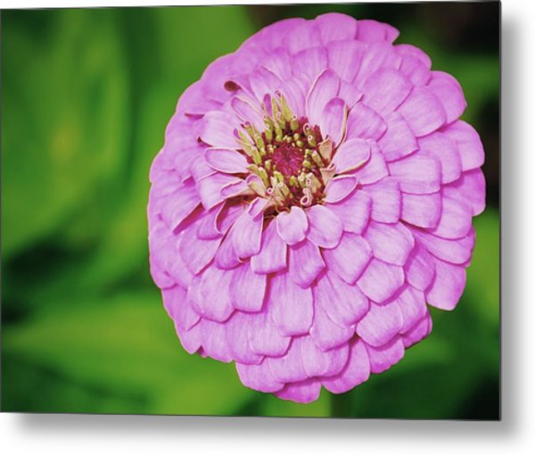 Nature's Boutonniere Metal Print by JAMART Photography
