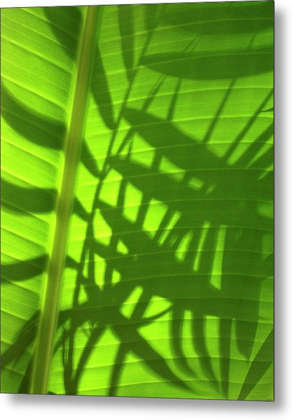 Natures Magic Shadows Of  Palm Fronds Shining Through The Leaf Of A Strelizia Tree Metal Print by PIXELS  XPOSED Ralph A Ledergerber Photography
