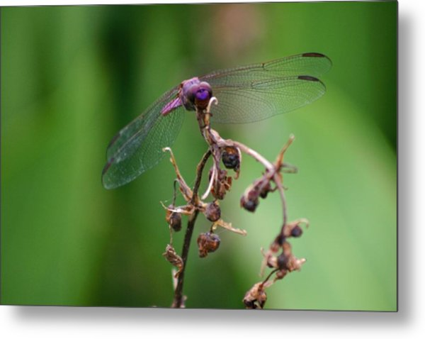 Dragonfly - Nature's Rose Metal Print
