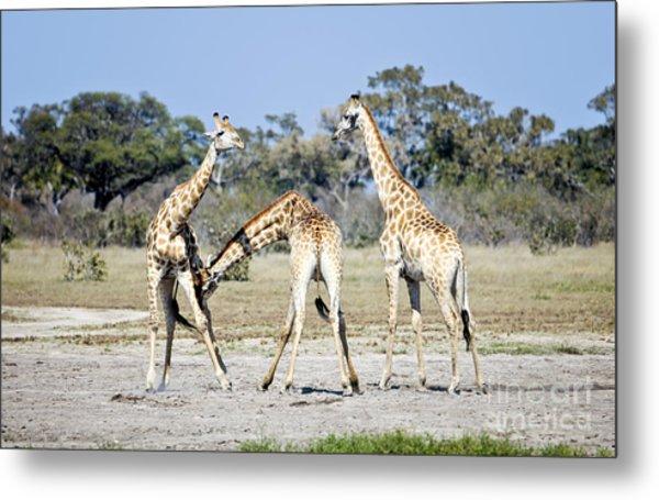 Necking Giraffes Botswana Metal Print