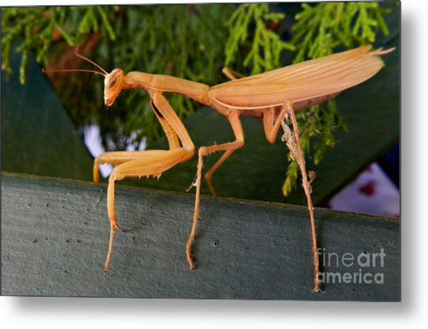 Neighborly Mantis Metal Print