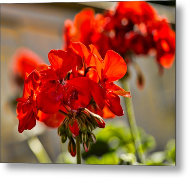 Metal Print featuring the photograph neighbour's flower DB by Leif Sohlman