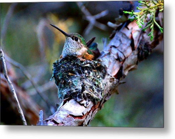 Nesting Hummingbird Metal Print