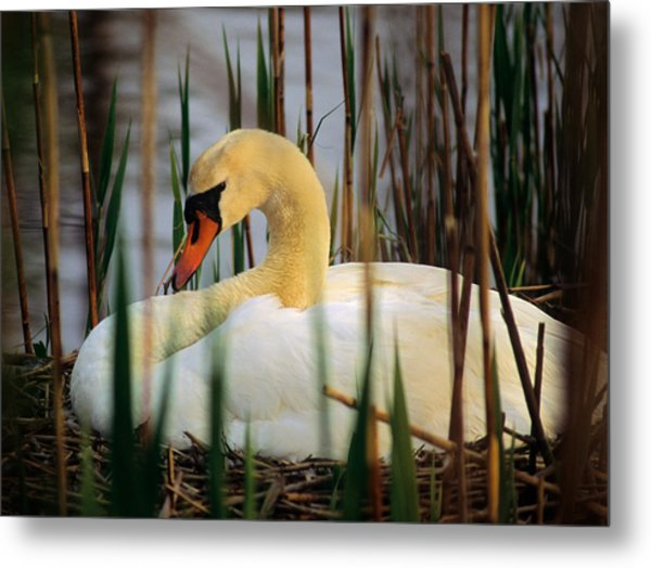 Metal Print featuring the photograph Nesting Swan by Michael Hubley