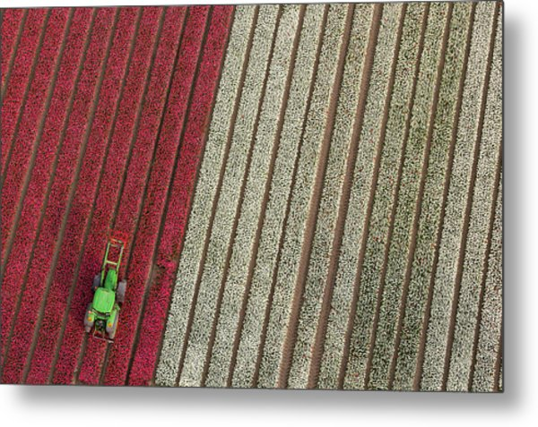 Netherlands, Tractor In Tulip Fields Metal Print by Peter Adams