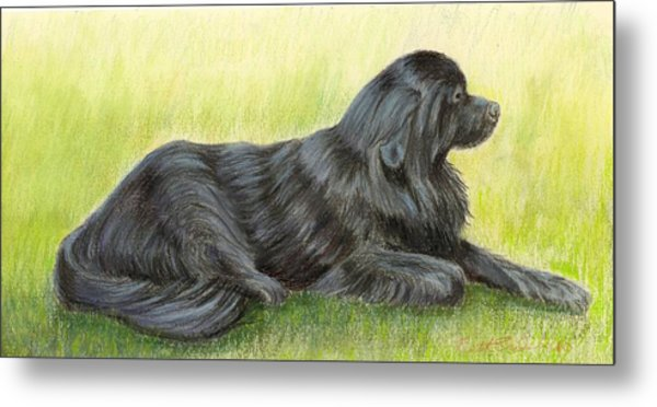 Newfoundland Dog Metal Print