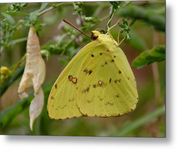 Metal Print featuring the photograph Newly Emerged Cloudless Sulphur Butterfly With Chrysalis In Background by Daniel Reed