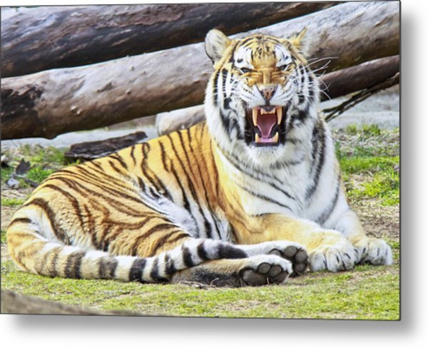 Nice Kitty Metal Print by Michael Petrick