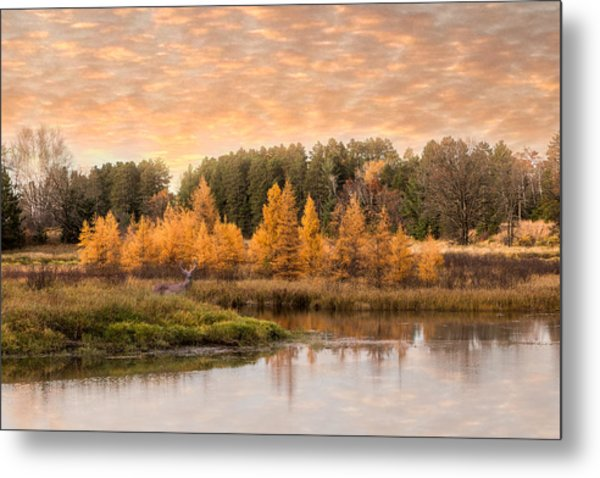 Metal Print featuring the photograph Tamarack Buck by Patti Deters