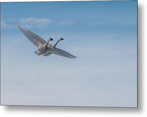 Trumpeter Swans Tandem Flight Metal Print