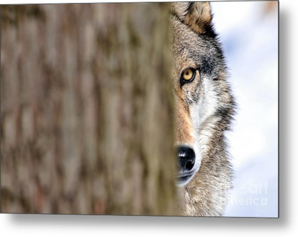 North American Gray Wolf Behind Tree Metal Print