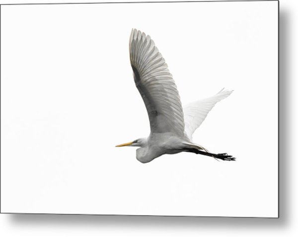 North American Great Egret Metal Print
