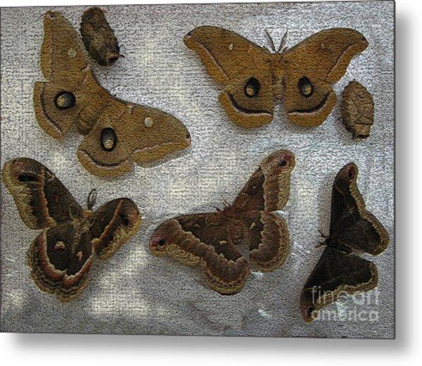 North American Large Moth Collection Metal Print