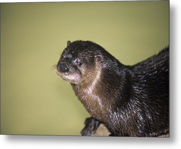 North American River Otter Metal Print by Sally Mccrae Kuyper/science Photo Library