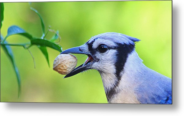 Northern Blue Jay Metal Print