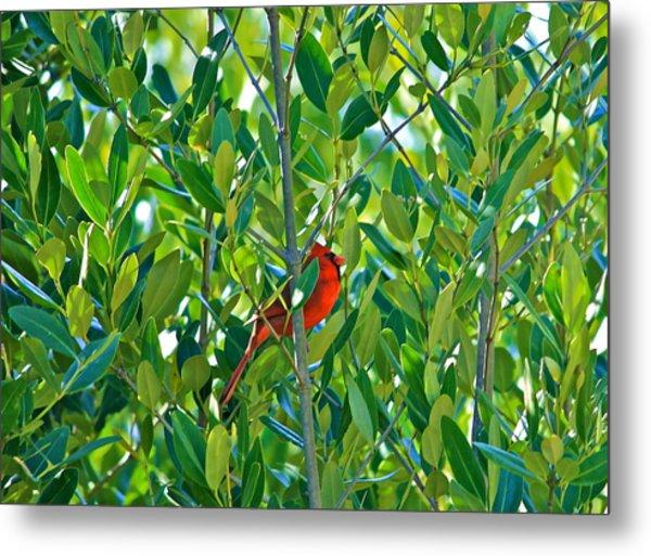 Northern Cardinal Hiding Among Green Leaves Metal Print