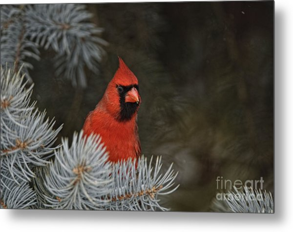 Northern Cardinal In Spruce Tree Metal Print