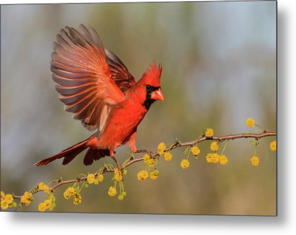 Northern Cardinal Male Landing Metal Print by Larry Ditto