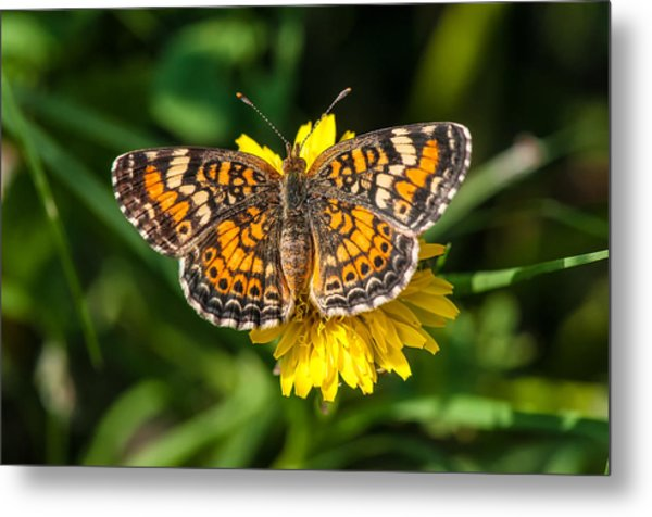 Northern Crescent Butterfly Metal Print