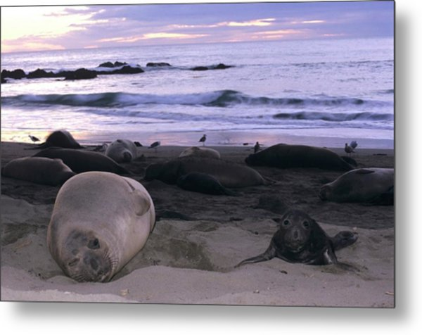 Northern Elephant Seal Cow And Pup At Sunset Metal Print