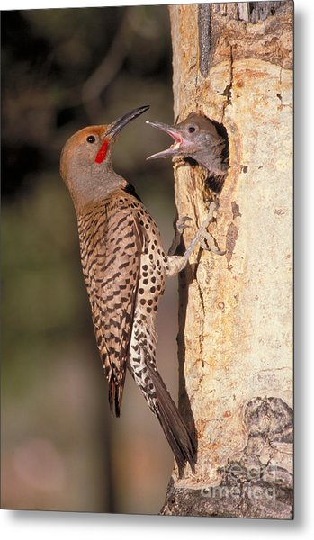 Northern Flicker At Nest Metal Print