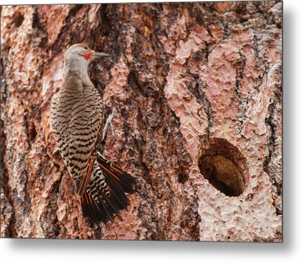 Northern Flicker Balanced On The Bark Metal Print