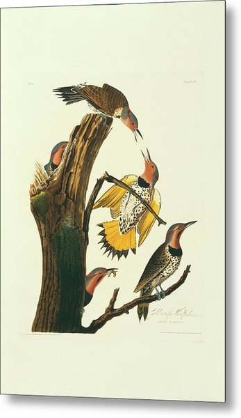 Northern Flicker Birds Metal Print