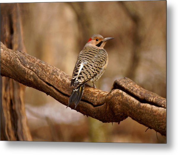 Northern Flicker II Metal Print