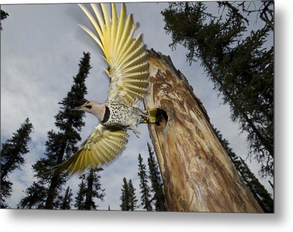 Northern Flicker Leaving Nest Cavity Metal Print