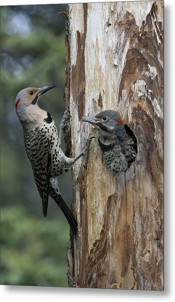 Northern Flicker Parent At Nest Cavity Metal Print