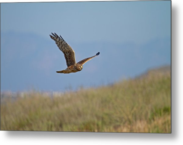 Northern Harrier In Flight Metal Print
