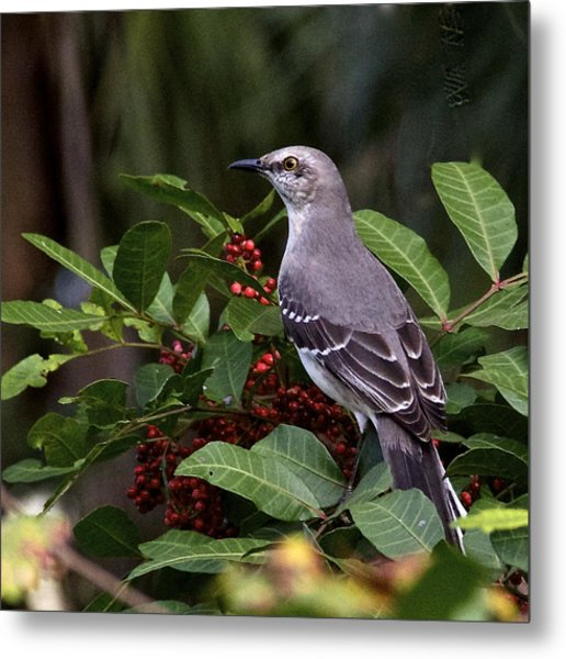 Northern Mocking Bird Metal Print