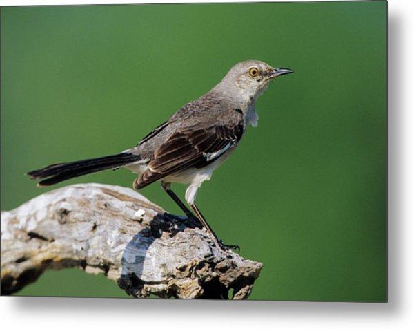 Northern Mockingbird (mimus Polyglottos Metal Print
