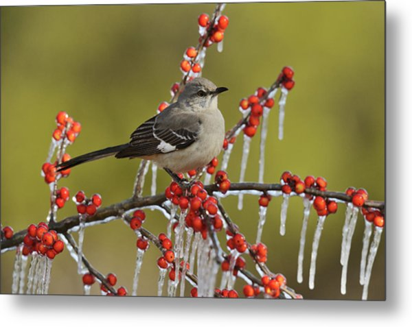 Northern Mockingbird Perched On Icy Metal Print