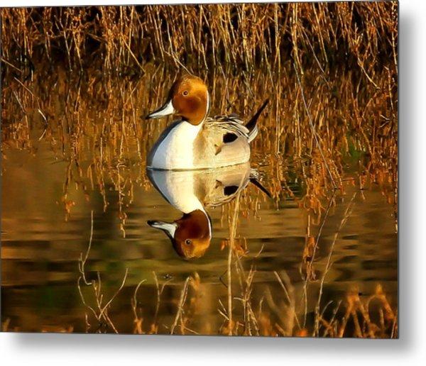 Northern Pintail Duck Metal Print by Thomas Kaestner