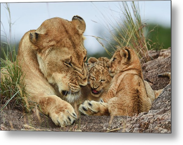 Nostalgia Lioness With Cubs Metal Print