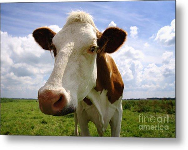 Nosy Cow Metal Print