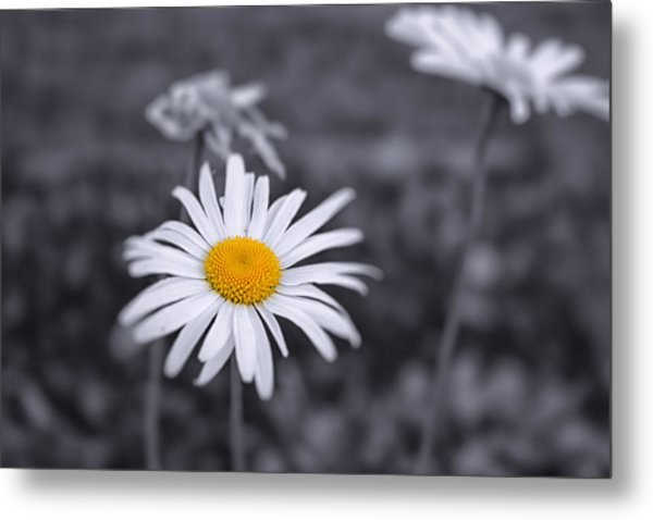 November Daisy Metal Print