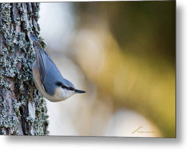 Nuthatch In The Classical Position Metal Print