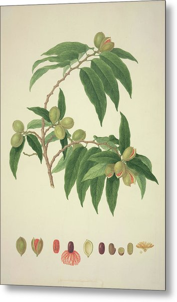 Nutmeg Plant Metal Print by Natural History Museum, London/science Photo Library