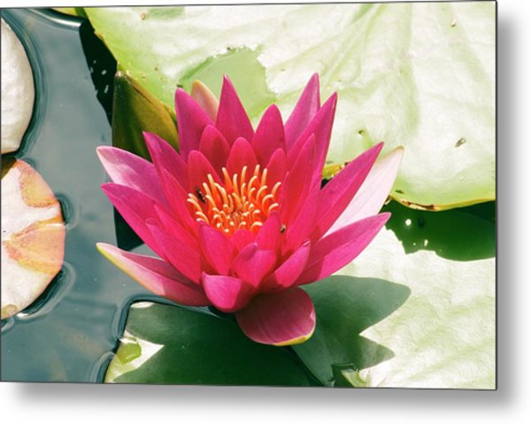Nymphaea 'escarboucle' Metal Print by Adrian Thomas