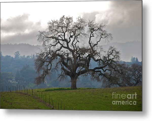 Oak In Fog Metal Print